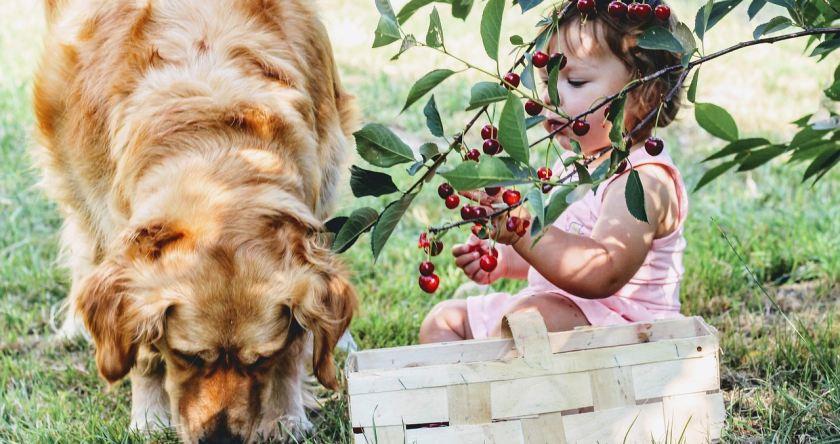 Beba i pas jedu višnje